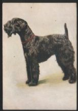 Cigarette card postcard Kerry blue terrier dogs 1930's